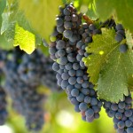 The French Paradox and Other Random Wine Facts