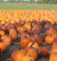pumpkins_field