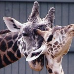 Giraffe Cleveland Zoo