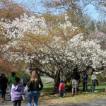 See New Jersey's Cherry Blossoms