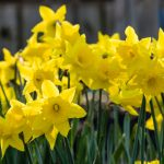Celebrate Spring with Daffodil Day!