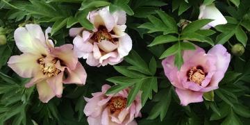 peonies Greenwood Garden