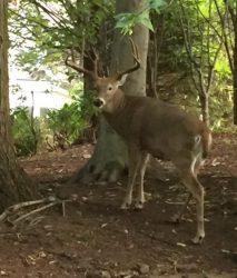 deer ridgewood