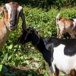 """""""Green Goats"""" help Celebrate Fall at the Arboretum"""