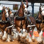 The Clydesdales Are Coming!!!