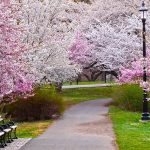 Get Your Cherry Blossom Fix Here in New Jersey!