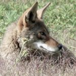 Coyotes in Ridgewood?