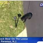 Another Bear on the Loose!?