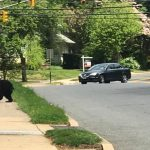 Another Bear Spotted in Ridgewood Today